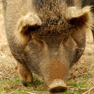 Michigan Orders Slaughter Of All Heritage Breed Pigs