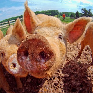 CAFOs Cause Antibiotic Resistant Superbugs Bacteria