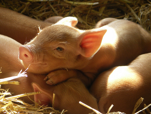 happy-piglets