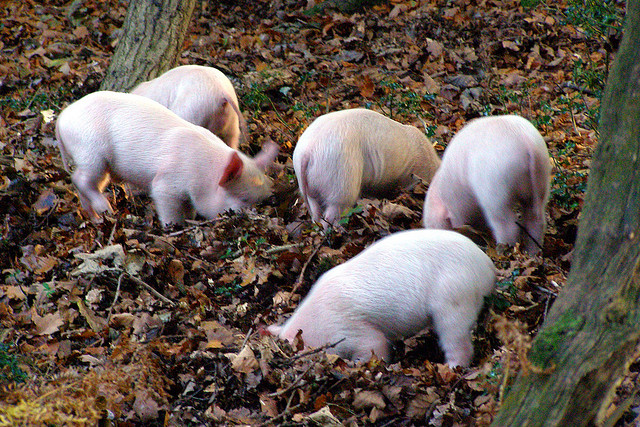 pigs-rooting-compost-leaves